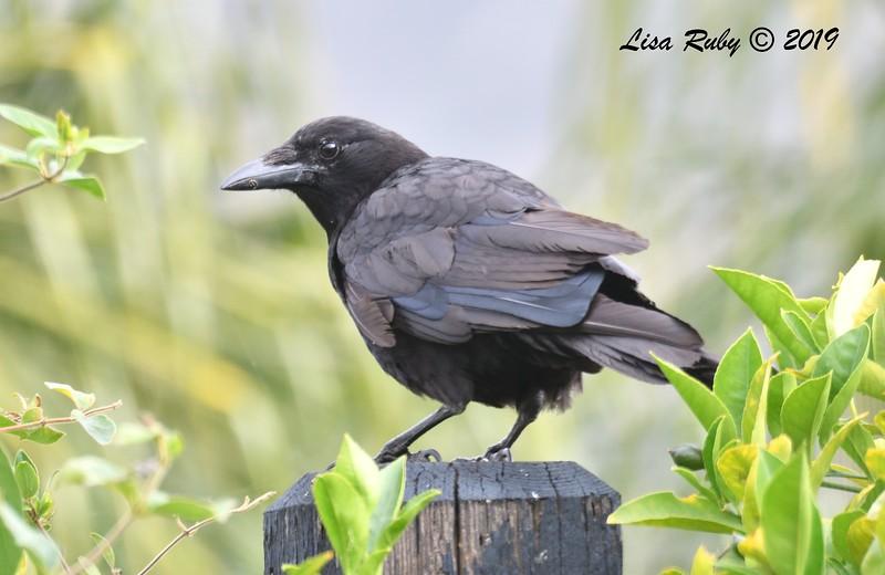 American Crow - 6/9/2019 - Sabre Springs Backyard
