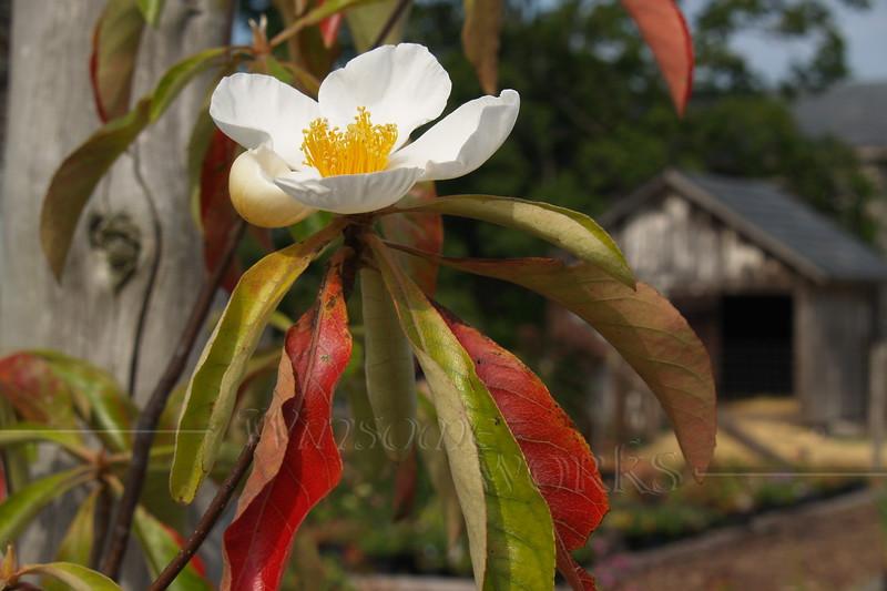 Franklin tree (Franklinia alatamaha) at Linden Hill gardens - Ottsville, PA