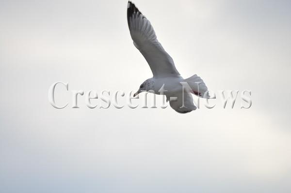 01-22-16 NEWS Sea Gulls at Independence
