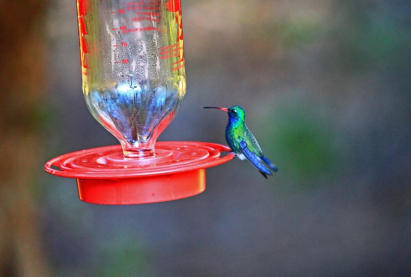 male Broad-billed hummingbird, Boyce Thompson Park, AZ.