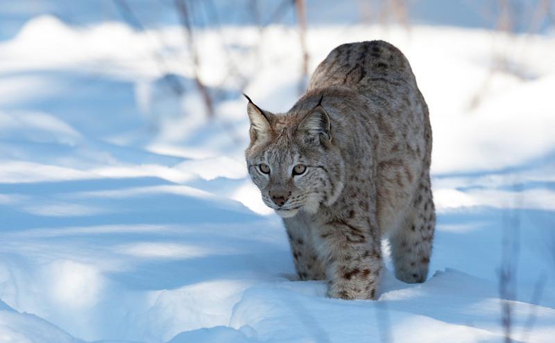 Lynx 5.jpg