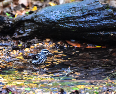 Tousled Black-and-White Warbler Bathing