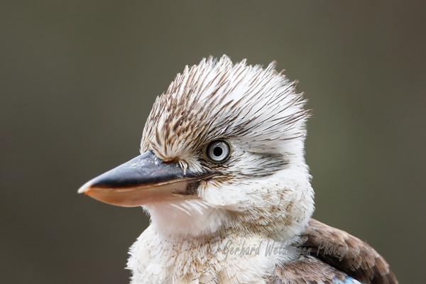 Kookaburras and Kingfishers