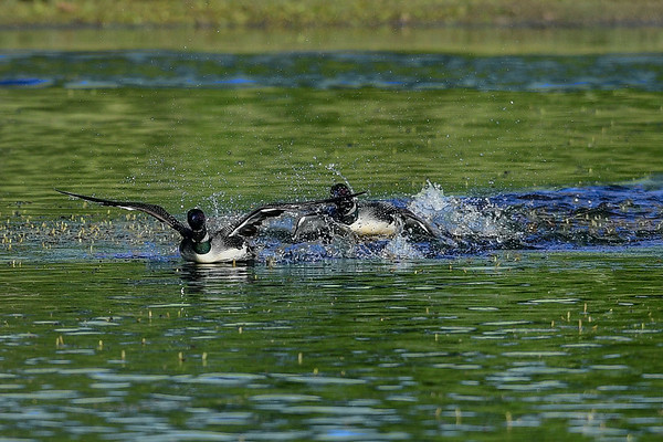 7-8-16 *^Common Loon Part 3 Fight Day