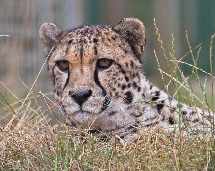 Big Cat Sanctuary (Southern Cheetah)