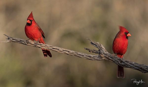 Cardinal x 2.jpg