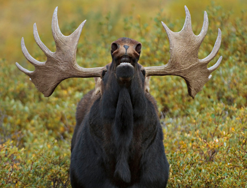 . A bull moose tips his head back to sniff the air, as a way of helping locate a nearby female moose near Georgetown, Colorado. September and October are the main months for the moose mating season.  (Werner R. Slocum/The Denver Post)