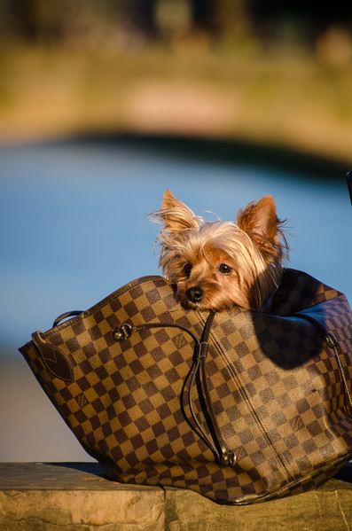 Yorkie in Florence on the Arno in a handbag