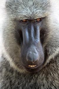 Baboon close-up. Queen Elizabeth National Park, Uganda.