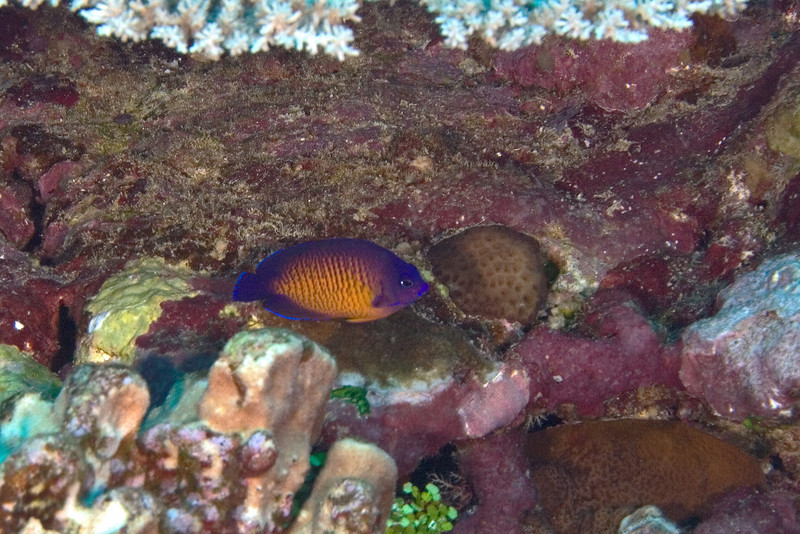 Two Spined Angelfish.jpg