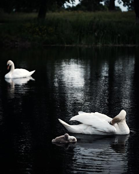 Swans_Of_Castletown030.jpg
