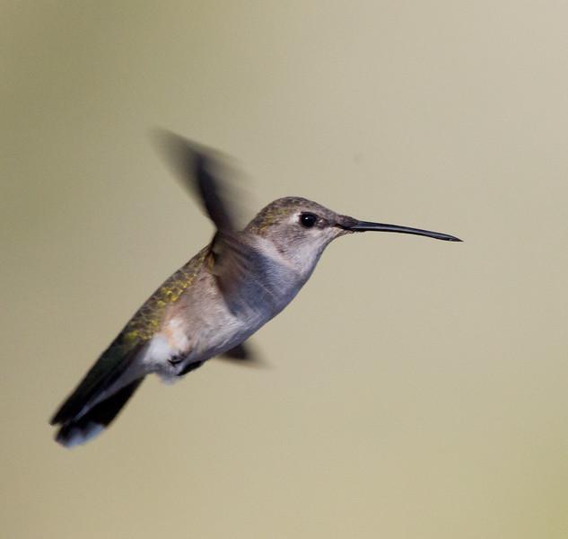 Black-chinned Hummingbird  Whelan Lake 2015 00 05-1.jpg