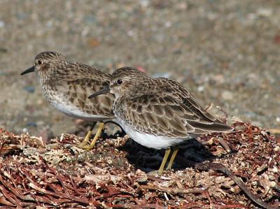 BIRDS: Sandpipers (Scolopacidae)