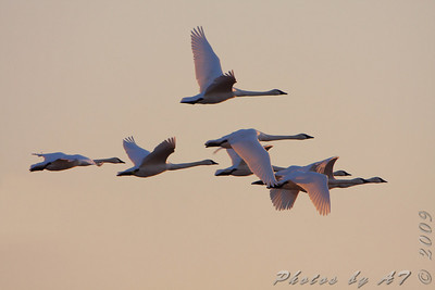 Wing Migration