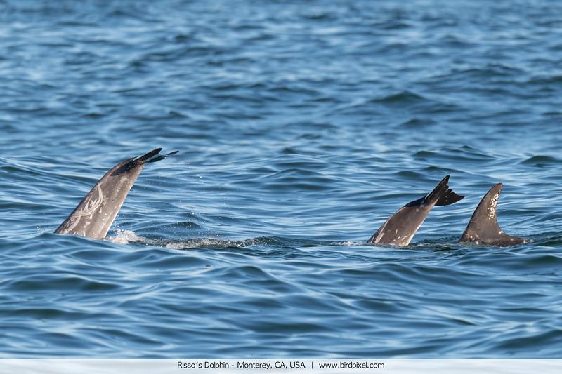 Risso's Dolphin - Monterey, CA, USA