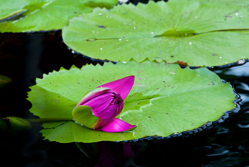 Magenta waterlily