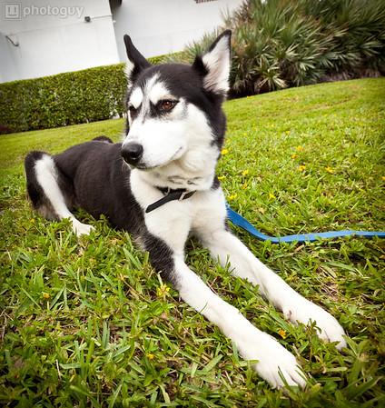 0005-South Florida Siberian Husky Rescue-Edit