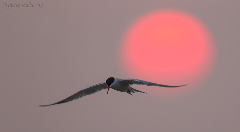 Common Tern and setting sun_L1G6070.jpg