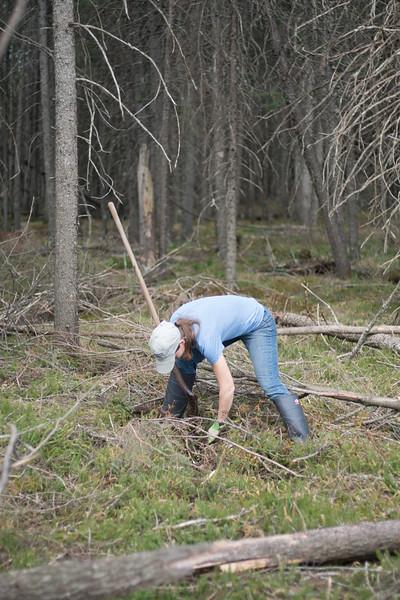 tree planting FOSZB Warren Nelson Bog Blue Spruce Road Sax-Zim Bog MN DSC07423.jpg