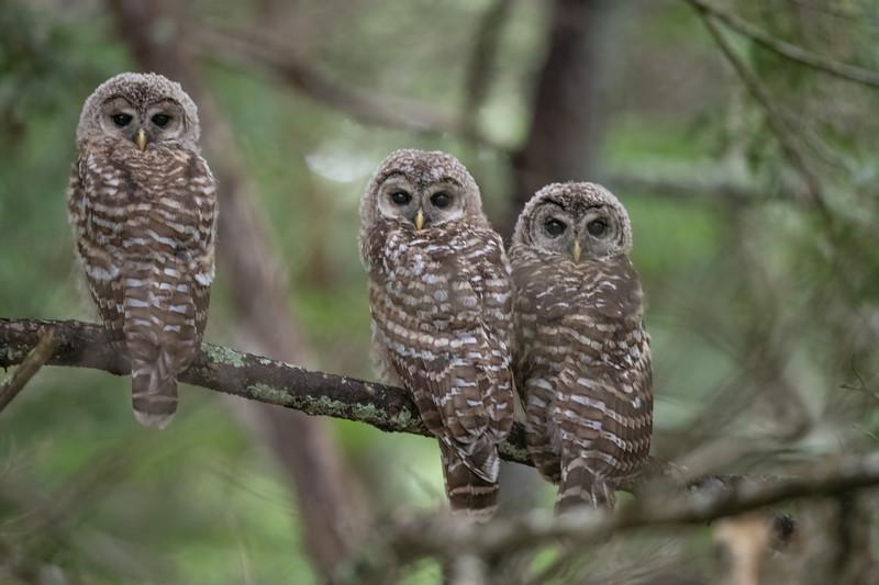 #1675 Barred Owlets