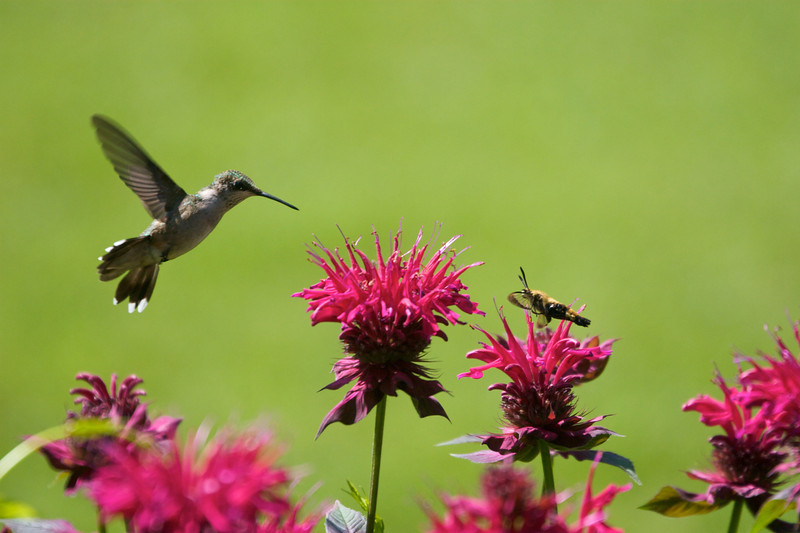 Hummingbird spots a moth Copyright 2007, Tom Farmer