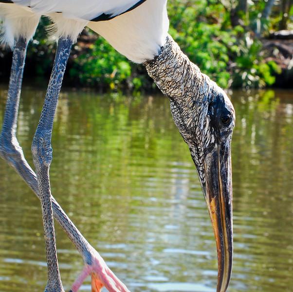 Wood Stork Gatorland, Orlando, Florida © 2010