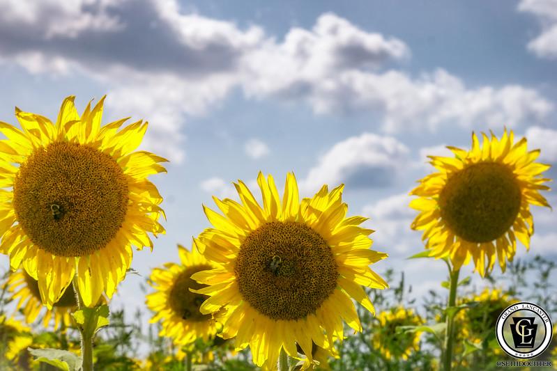 1327 - Sunflowers - Three Sunflowers Bright Elverson