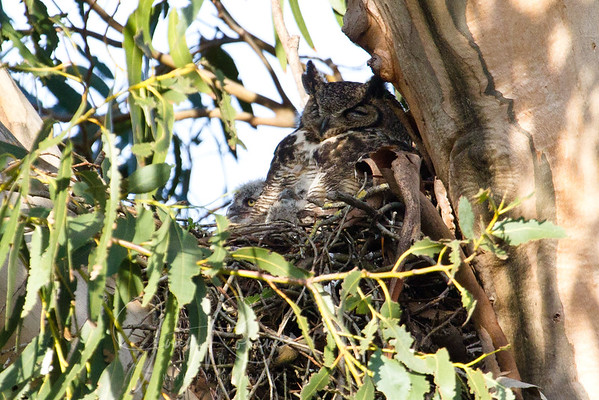 Great Horned Owl Moves into Hawk Nest 2011