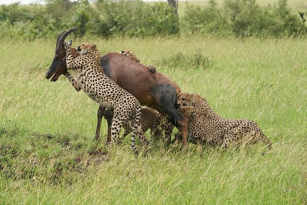 Fast FIVE Cheetah Kill Mara Kenya 2018