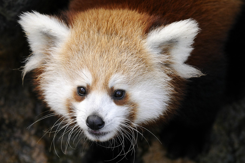 A red panda cub at the Knoxville Zoo in Knoxville, TN on Tuesday, December 16, 2014. Copyright 2014 Jason Barnette