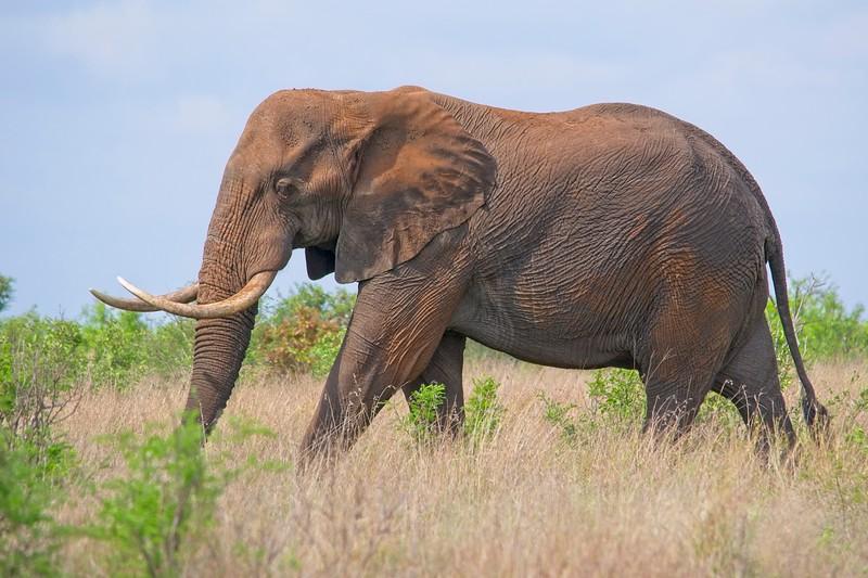 Elephant Tuskre.jpg