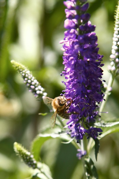 So good to see the bees back in the garden
