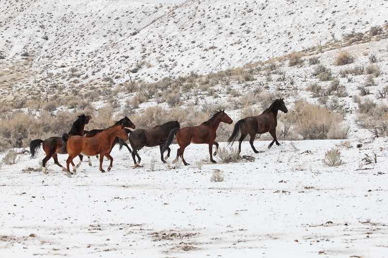 The Owyhee herd frolicking in the snow, Idaho