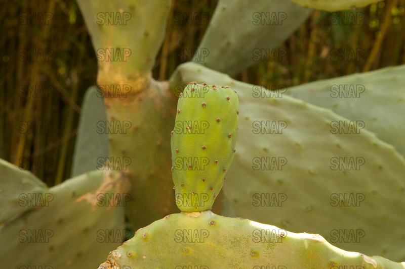 Prickly Pear (Opuntia ficus-indica), at the Jacksonville Zoo and Gardens.