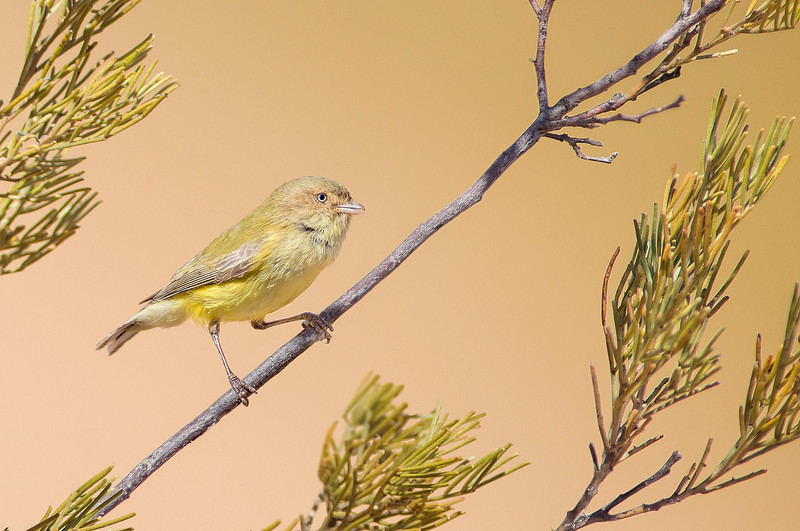 Weebill - Smicronis breviostris (sub-species flavescens), Alice Spings NT