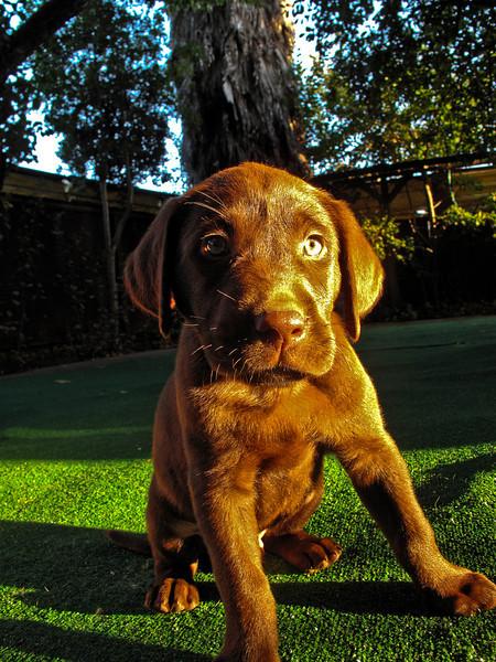 choco-puppy.jpg