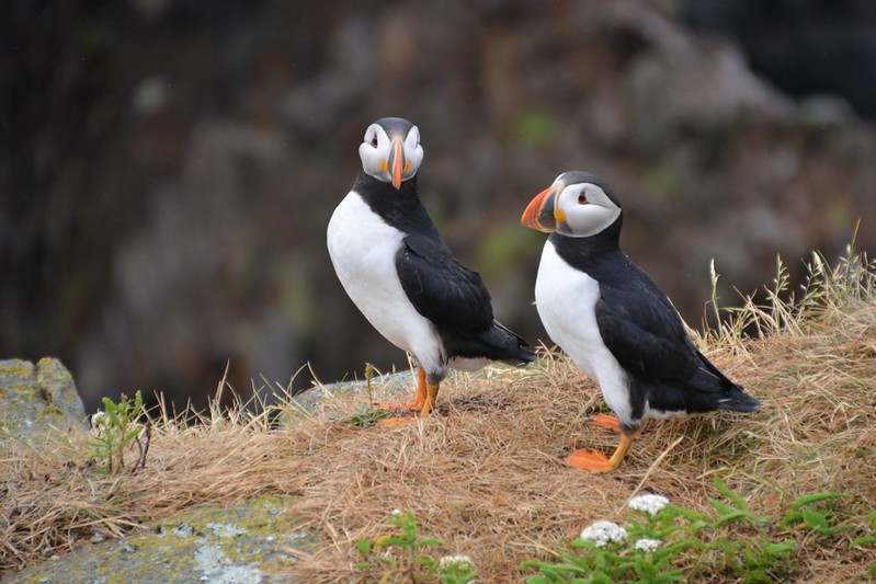 puffins in elliston newfoundland by Cailin ONeil 001.jpg