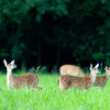 Three whitetail deer fawns standing in an open meadow