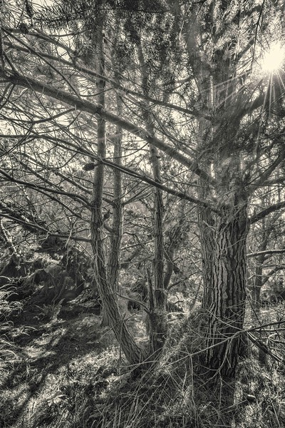Coastal Forest at Salt Point #2