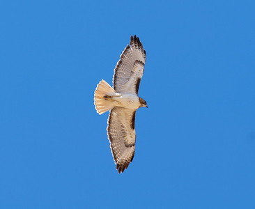 Red-tailed Hawk (Fuertes form)
