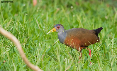 Rails, Crakes and CootsFamily Rallidae