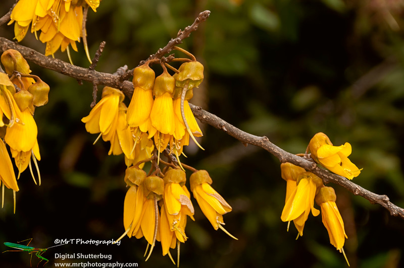 A spectacular blooming kowhai tree on a cloudy spring afternoon in Auckland