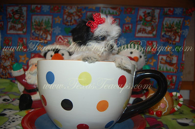 2013 Shih Tzu Puppies Sold