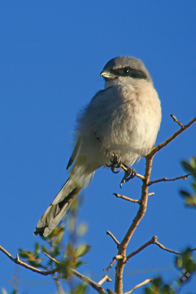 Loggerhead Shrike at Joshua Tree.jpg