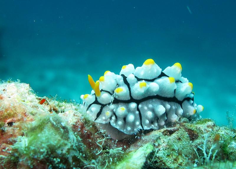 IMG_7535Ar_Sea Slug (Phyllidia sp1).JPG