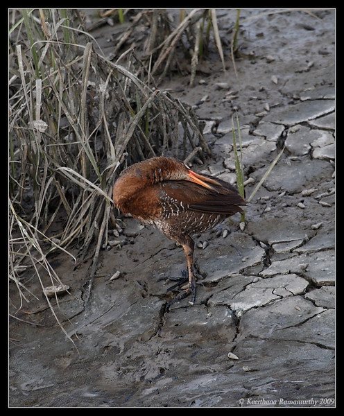 Clapper Rail, Tijuana River Estuary, San Diego County, California, March 2009