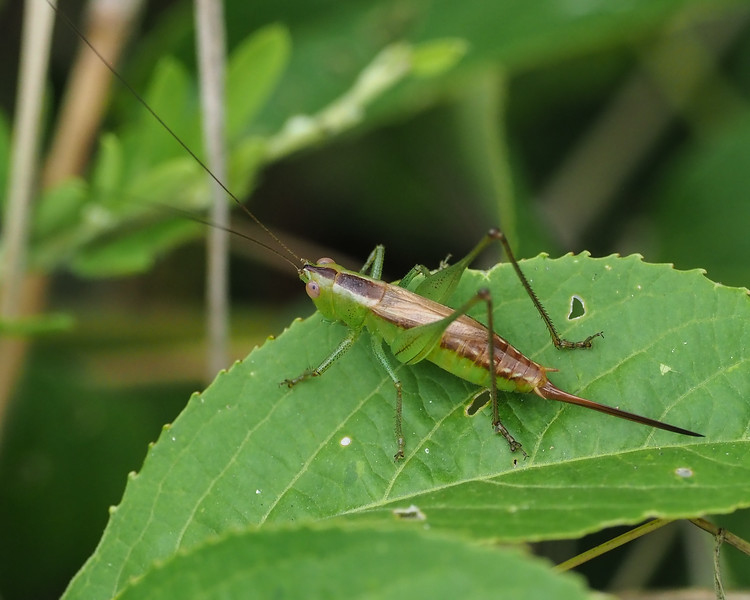 Straight Lanced Meadow Katydid