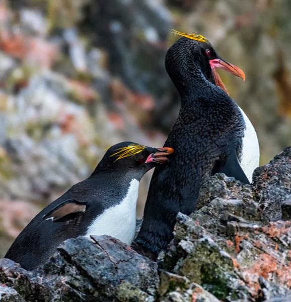 Penguins_Macaroni_Elsehul-11.jpg