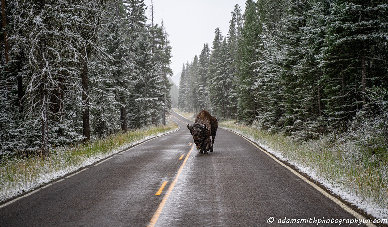 buffalo-snow-yellowstone-national-park-1.jpg