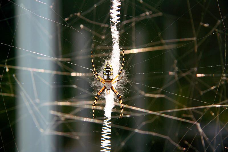 12_18_19 Banana Spider.jpg